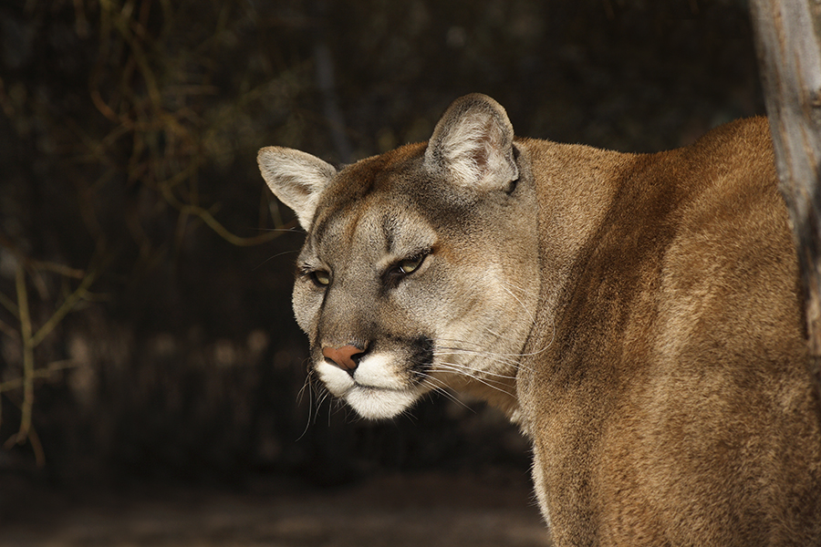 Mountain Lion At Linda Searle S Rehabilitation Center